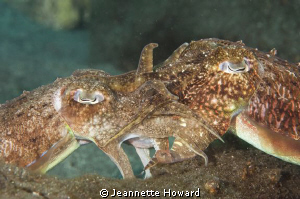 Mating Cuttlefish by Jeannette Howard 